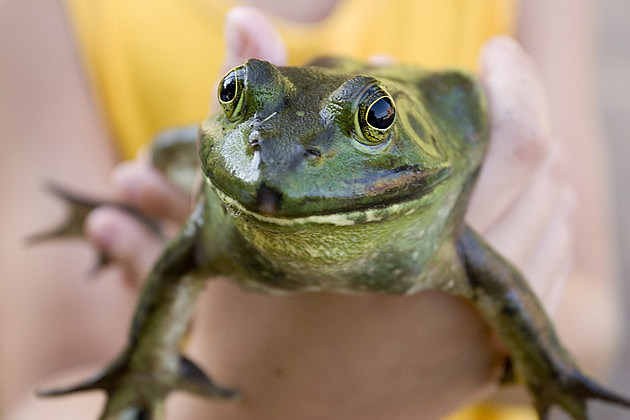 Bullfrog in the hand